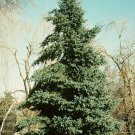 White Spruce Seeds 25 Count