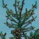Black Spruce Seeds 25 Count
