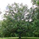 Shingle Oak Acorns 5 Count