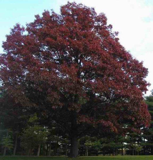 Northern red oak acorns count