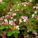 Tartarian Honeysuckle Seeds 25 Count