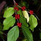 Amur Honeysuckle Seeds 25 Count