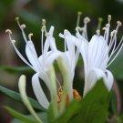 White Honeysuckle Seeds 25 Count