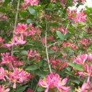 Hot Pink Honeysuckle Seeds 25 Count