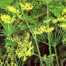 Organic Hedger Dill Seeds 20 Count