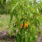 Organic Datil Yellow Pepper Seeds 25 Count