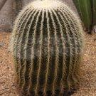 Candy Barrel Cactus Seeds - BULK