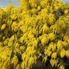 Boomerang Acacia (Wattle) Tree Seed 25 Count