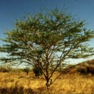 Arabic Gum Acacia Tree Seed 25 Count