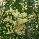 Costal Acacia (Wattle) Tree Seed 25 Count