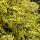 Fragrant Fringed Acacia (Wattle) Tree Seed 25 Count