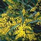 Zigzag Acacial Tree Seed (Wattle) 25 Count