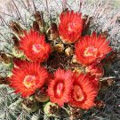Candy Barrel Cactus Red Flowered 10 Count