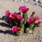 Red Torch Cactus Seeds 10 Count