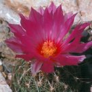 Glory of Texas Cacti Seeds 10 Count