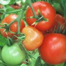 Organic Sub-Arctic Plenty Tomato Seeds 10 Count