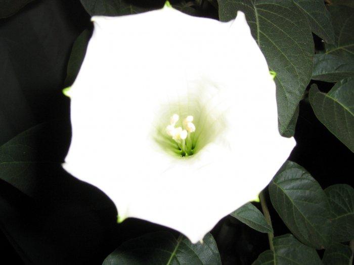 Toloatzin (Datura inoxia)