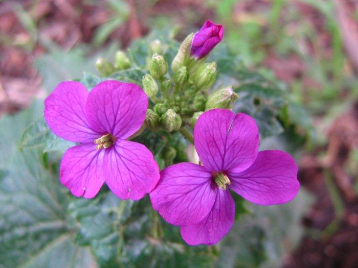 Lunaria (Lunaria annua)