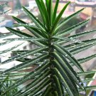 Tartago (Euphorbia latyris)
