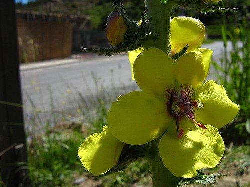 Verbasco (Verbascum virgatum)