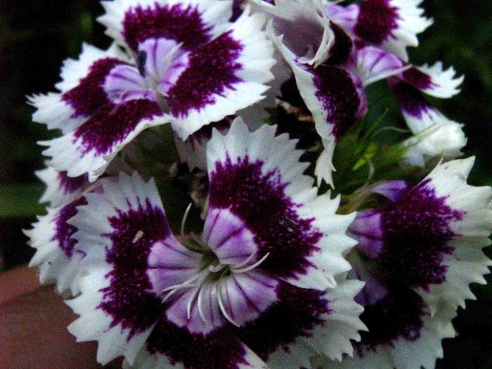 Clavelina (Dianthus chinensis)