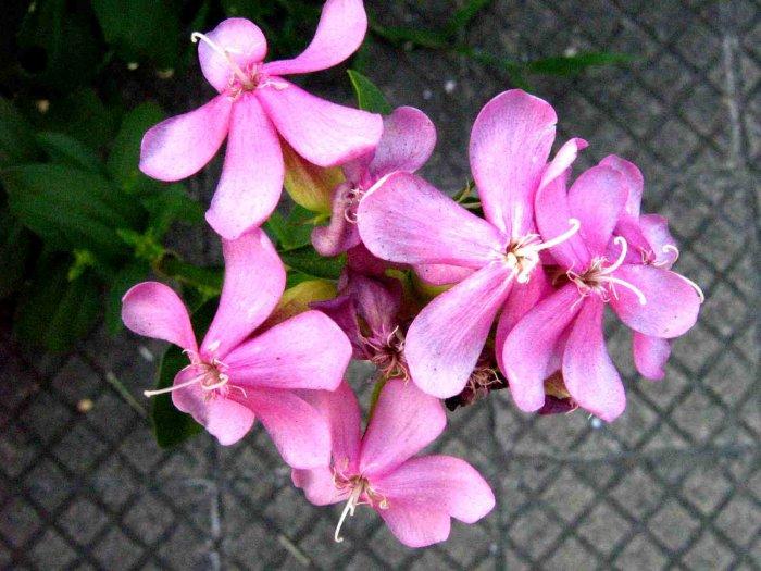 Centaura menor (Centaurium erythraea)