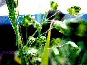 Tembladerilla menor (Briza minor)