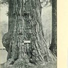 JUMBO BIG TREE GROVE SANTA CRUZ CALIFORNIA EARLY POSTCD