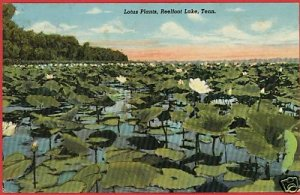 REELFOOT LAKE  TENNESSEE LOTUS PLANTS HORNBEAK POSTCARD