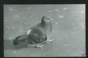 RPPC PIGEON  A CUMMINGS PHOTO RP POSTCARD