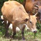 Lembu Tempatan