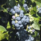 "Earliblue Blueberry Bush, 16""-30"" Bare-root plants."