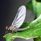 Blue Wing Olive Parachute Fly Fishing Flies- Twelve #14