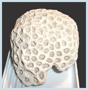 Honeycomb Brain Coral Caribbean Sea Shell Fossil
