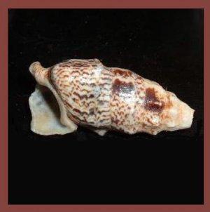 Cerithium Echinatum 45mm Knobby Cerith Seashell