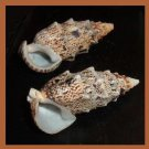 Pair of 2 Cerithium Echinatum 50mm Knobby Cerith Seashells