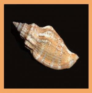 Strombus Labiatus - Canarium Labiatum 39mm Orange Striped Seashell