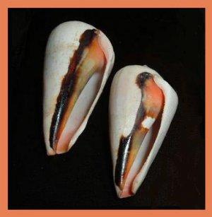 Pair of 2 Strombus Conomurex Luhuanus 51mm Strawberry Blood Mouth Conch Seashells