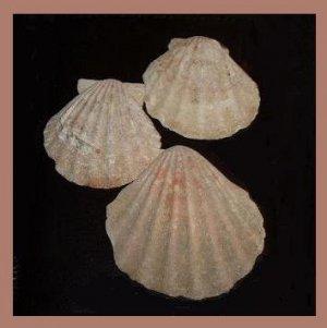 Lot of 3 Pectinidae Complicachlamys Wardiana CREAM Scallop Seashells