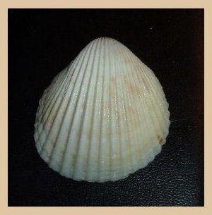 Cardiidae Vasticardium Flavum Subrugosum 50mm Rose Cockle Seashell