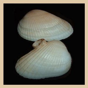 Lot of 2 Arcidae Anadara Antiquata White ARK Clam Seashells