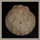 Fossil Pectinidae Laevichlamys Multisqualida 55mm Scallop Seashell