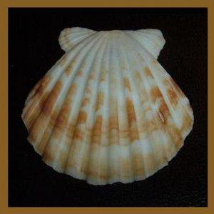 Pectinidae Bractechlamys Vexillum Brown FREAK 49mm Scallop Seashell