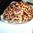 Polished Cypraea Tigris 78mm Seashell French Polynesia Bora Bora Moorea Tahiti