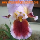 Ecstatic Echo Tall Bearded Iris Fresh Dug Rhizome stunning flower