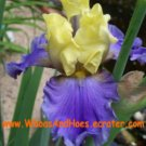Edith Wolford Tall Bearded Iris REBLOOMER yellow & purple flower
