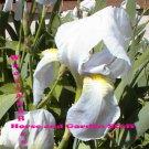 2 White bearded iris, white and yellow beard drought tolerant easy to grow