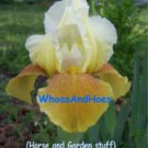 Yellow bitone bearded iris, brown veining on falls, drought tolerant easy to grow
