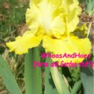 """Golden Immortal"" Reblooming Tall Bearded Iris Easy2Grow Drought Tolerant Perennial"