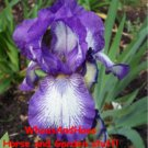 """Stepping Out"" Bearded Iris freshly dug rhizome"